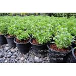 ต้นหญ้าหวาน ราคาต้นละ 100บาท // ชุด10กระถางแถม 1 (สั่งทางเว็บเท่านั้น)