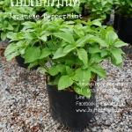 ต้นเปปเปอร์มิ้นต์ Japanese Peppermint ชุด 5 ต้น ราคาต้นละ 100บาท
