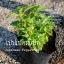 ต้นเปปเปอร์มิ้นต์ Japanese Peppermint ชุด 5 ต้น ราคาต้นละ 100บาท thumbnail 2