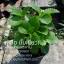 เนียมหูเสือ หูเสือ (ชุด10ต้น) เขียว/ด่าง thumbnail 1