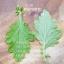ต้นเก๊กฮวย ชุด 5 ต้น thumbnail 3