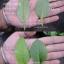 แปะตำปึง ใบกลม ชุด 10 ต้น แปะตังปึง thumbnail 2