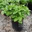 ต้นเปปเปอร์มิ้นต์ Japanese Peppermint ชุด 5 ต้น ราคาต้นละ 100บาท thumbnail 1