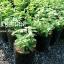 ต้นเปปเปอร์มิ้นต์ Japanese Peppermint ชุด 5 ต้น ราคาต้นละ 100บาท thumbnail 3