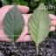 ต้นเนียมหอม (ชุด 10ต้น) (ต้นละ70บาท) thumbnail 2